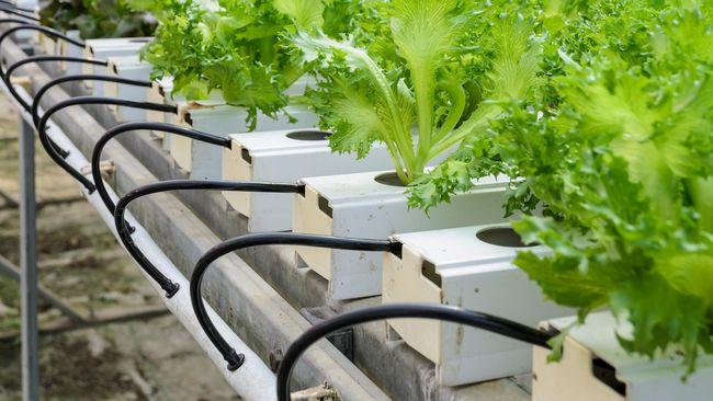 Inovasi Dari Undip Hidroponik Yang Hemat Energi