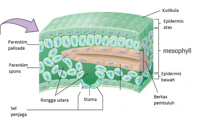 Jaringan Tumbuhan Epidermis Parenkim Penyokong Endodermis