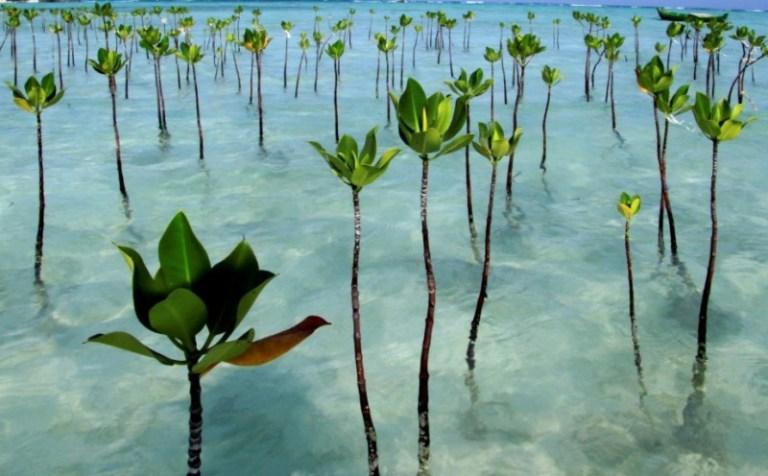 Ekosistem mangrove di Indonesia memang rusak, terus apa ...