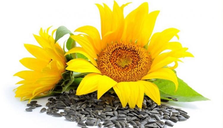 Bunga Matahari Tak Hanya Cantik Ternyata Banyak Manfaatnya