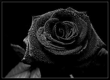 Fakta Dan Mitos Bunga Mawar Hitam